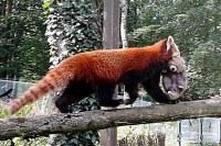 Tajemná panda červená má mládě