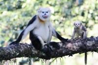 Zoo zve na běh pro langury