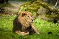 Do ostravské ZOO se letos vrátí lev indický