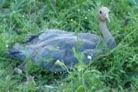Zoo značkuje jeřáby popelavé